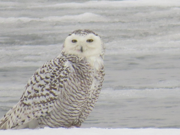 Snowy Owl at Colonel Sam Smith Park in Toronto, ON