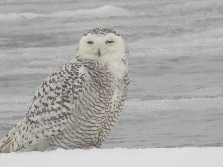 Snowy Owl on ice at Colonel Sam Smith Park in Toronto, ON