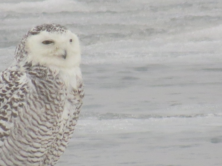 Snowy Owl resting on ice at Colonel Sam Smith Park in Toronto, ON