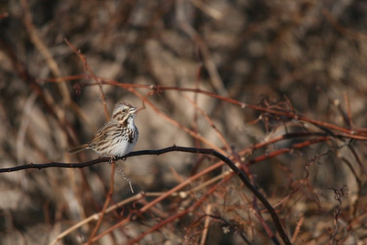 Song Sparrow, Long Point, Ontario