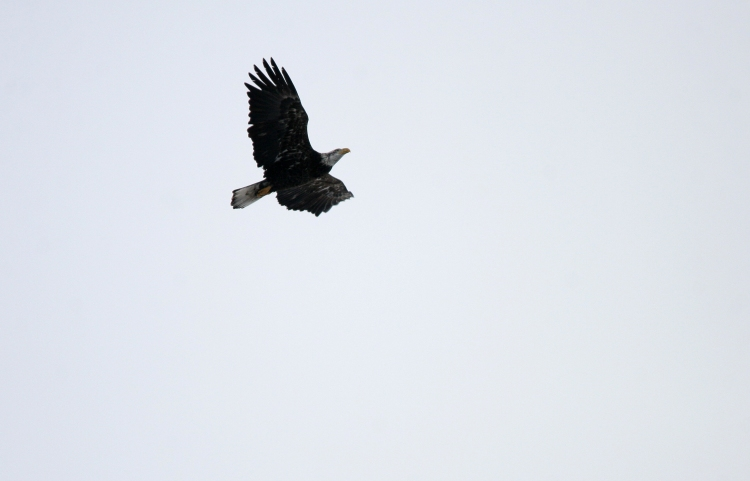 Treated to a flyover of a Bald Eagle