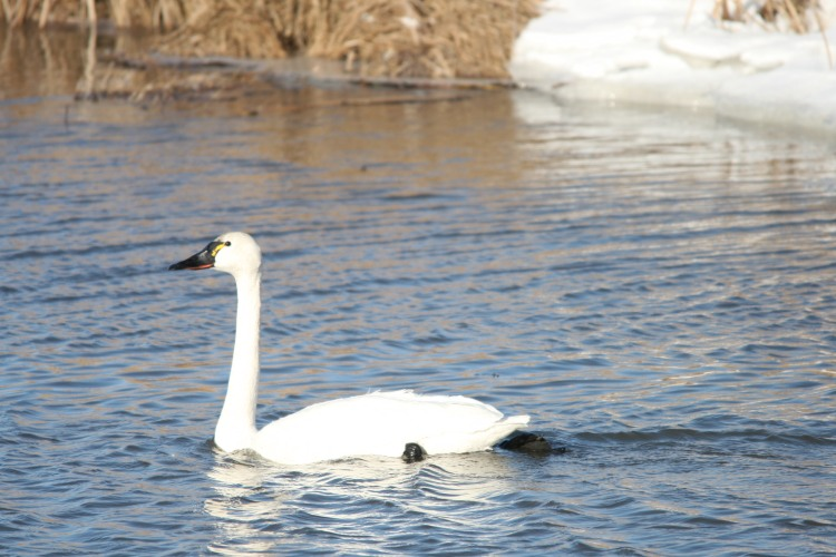 Tundra Swan, Long Point, Ontario
