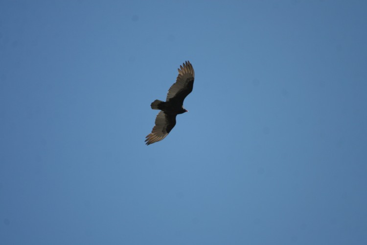 Turkey Vulture, Long Point, Ontario