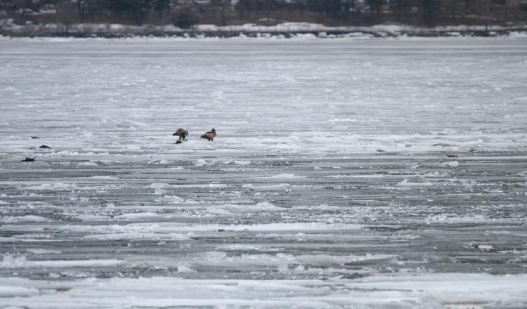Two juvenile Bald Eagles, Lift Bridge Canal, Burlington, ON