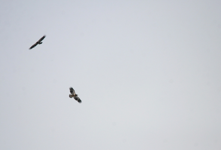 Two of the seven Bald Eagles