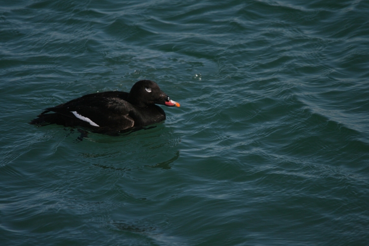 White-Winged Scoter at the lake behind the waterfront hotel in Burlington, ON