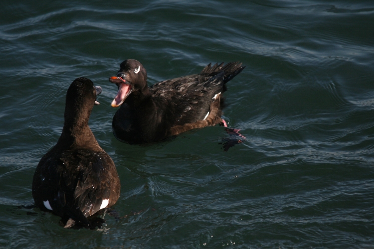 White-Winged Scoters battling at the lake behind the waterfront hotel in Burlington, ON