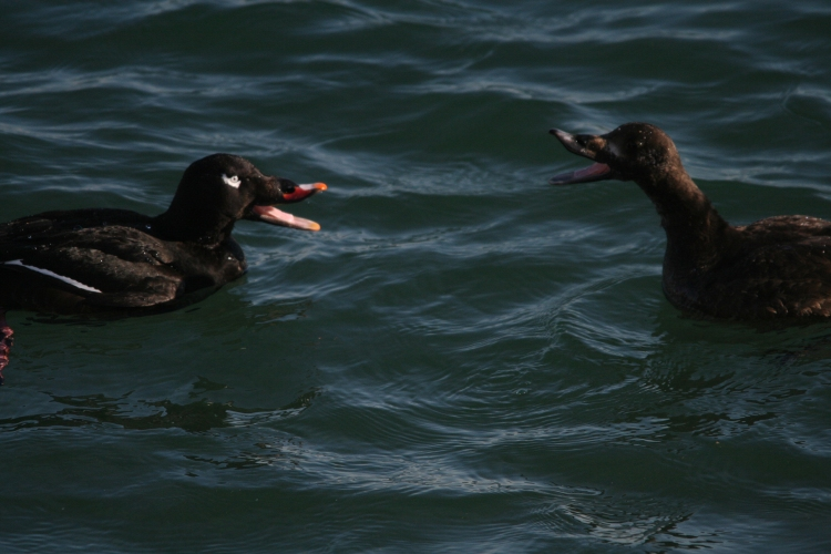White-Winged Scoters duel at the lake behind the waterfront hotel in Burlington, ON