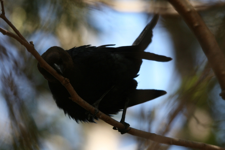 Brown-headed Cowbird wiping beak at Shoreacres Park in Burlington, ON