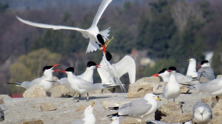 Caspian Terns fighting for fish