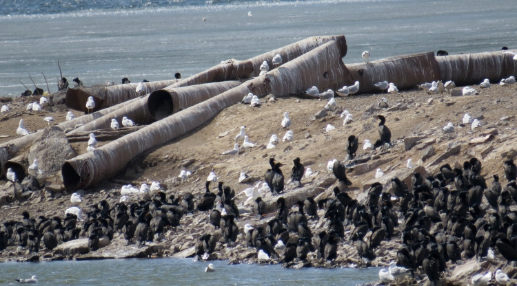 Double-crested Cormorant colony at Tollgate Ponds