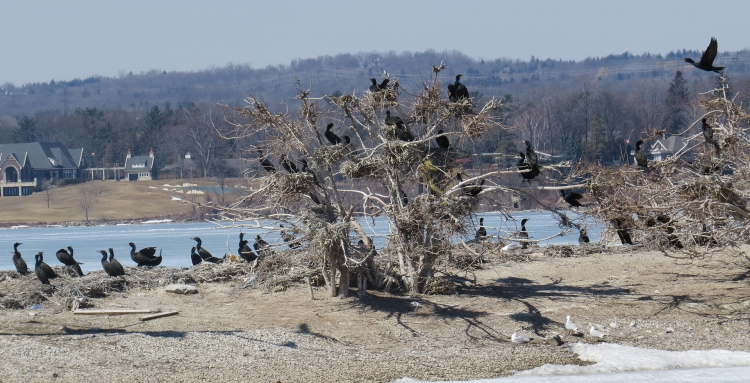 Double-crested Cormorant Colony near CCIW in Hamilton, ON