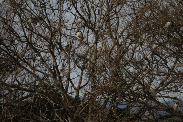 Eight Black-crowned Night-herons