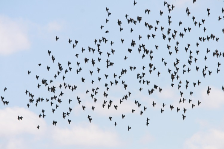 European Starlings in flight at Windermere Basin in Hamilton
