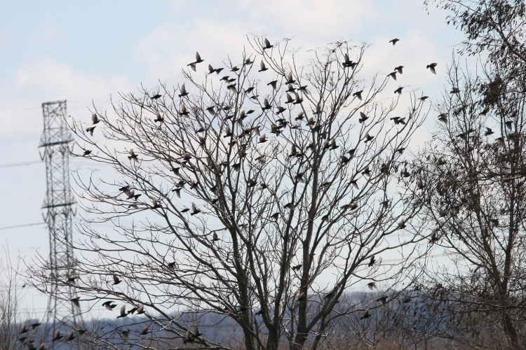 European Starlings at Windermere Basin in Hamilton