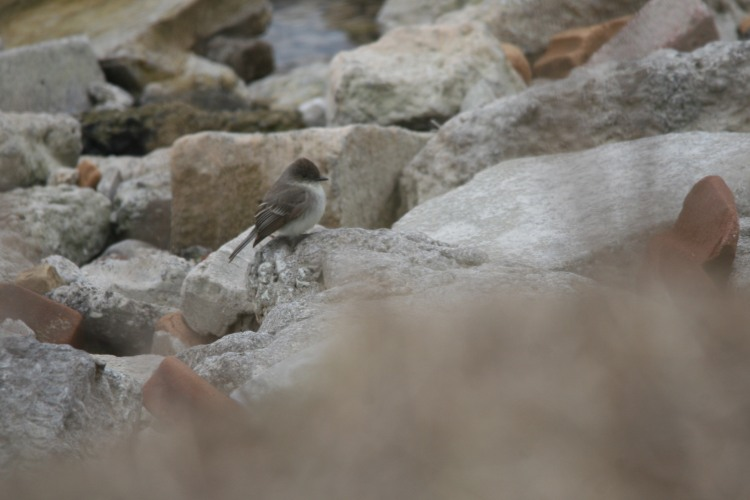 Fuzzy look at Eastern Phoebe