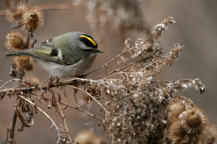 Golden-crowned Kinglet foraging at Lasalle Park