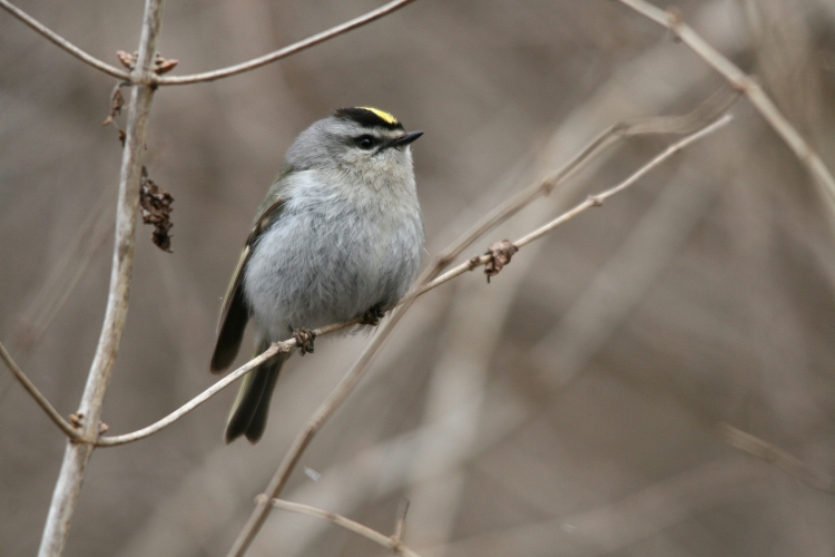 Golden-crowned Kinglet at Lasalle Park