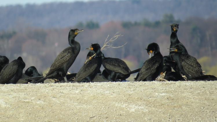 Ground nesting Double Crested Cormorants