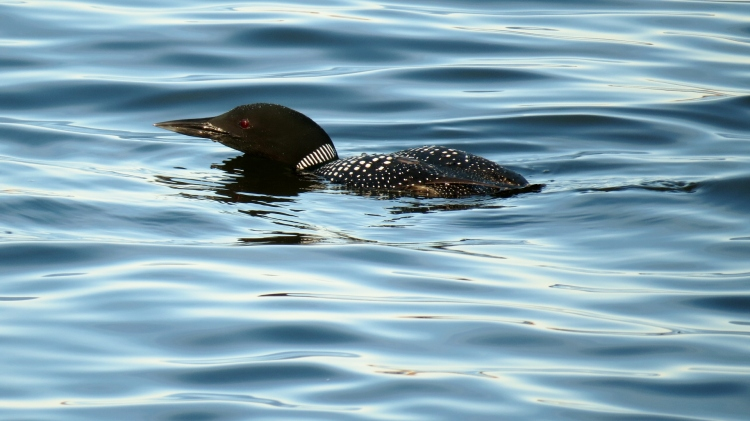 Common Loon, pre-dive