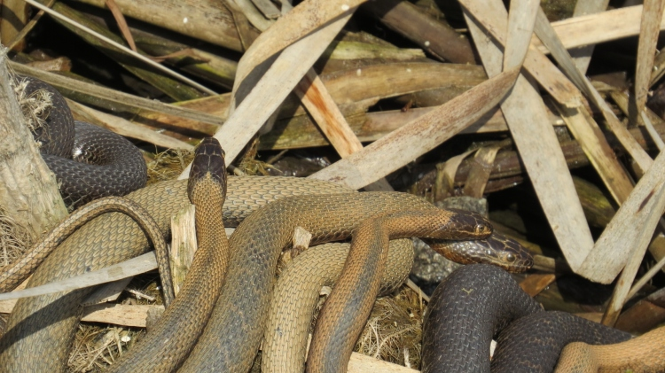Mating Louisiana water snakes