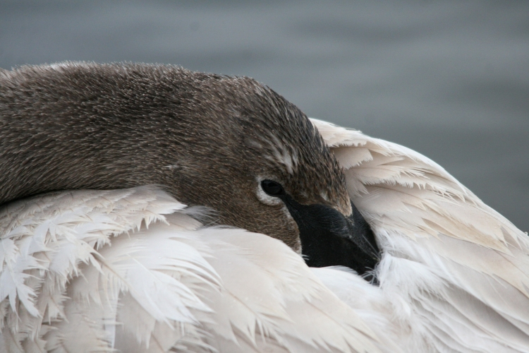 Juvenile Trumpeter Swan at Lasalle Marina in Burlington, ON