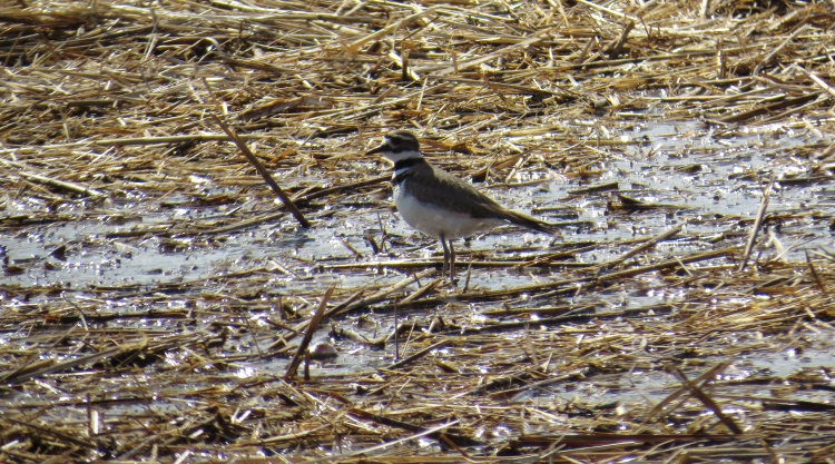 Killdeer at Windermere Basin in Hamilton, ON