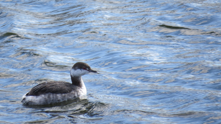 Horned grebe at the Lasalle Marina in Burlington, ON