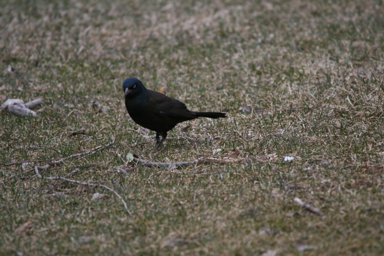 Male Common Grackle