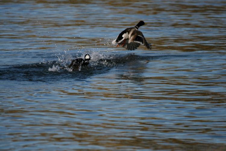 Male Hooded Merganser chasing off Male Mallard