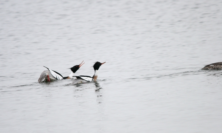 Male Red-breasted Mergansers, Step 5