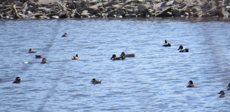 Mix of waterfowl including Northern Shovelers at Windermere Basi in Hamilton, ON