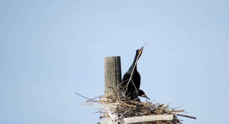 Nest building Double-crested Cormorants