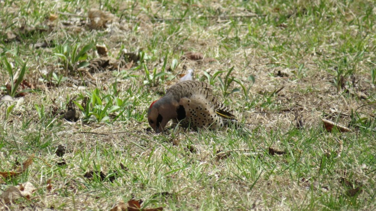 Northern Flicker foraging for ants on front lawn