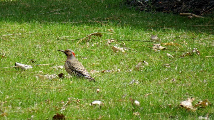Northern Flicker on front lawn