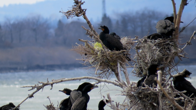 Double-Crested Cormorants at Tollgate Ponds in Hamilton, ON