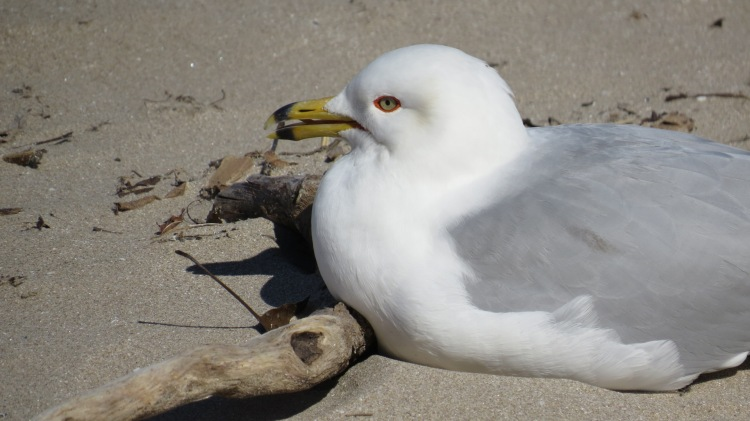 Ring-billed Gull relaxing on the Burlington Beach