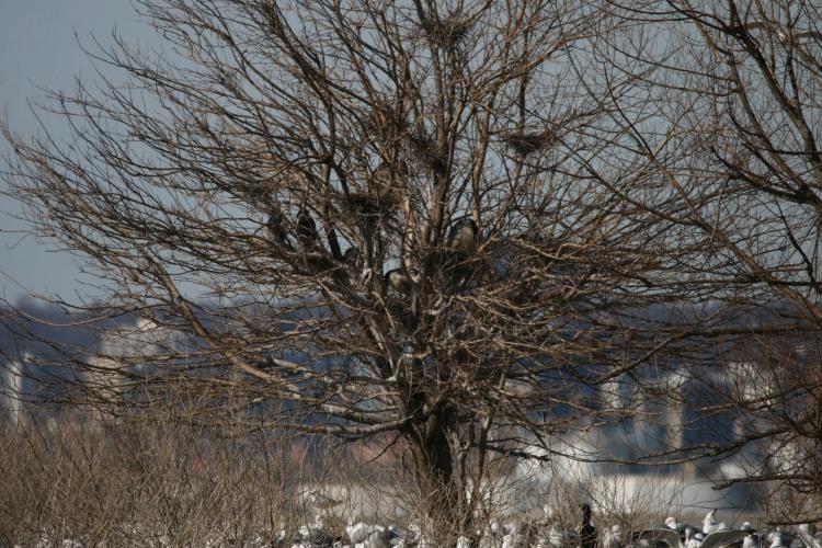 Six Black-crowned Night-herons