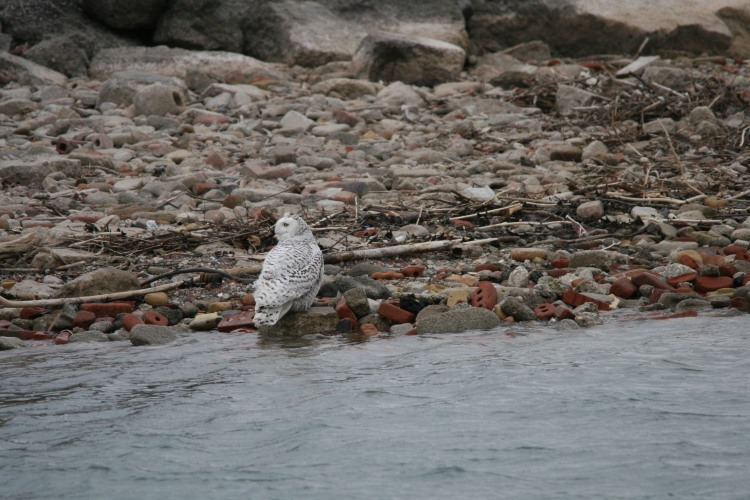 Snowy Owl harassed by Ring-billed gulls