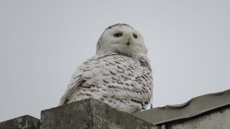 Snowy Owl on roof