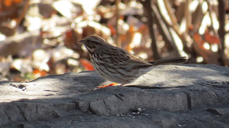 Song Sparrow at Confederation Park in Hamilton, ON