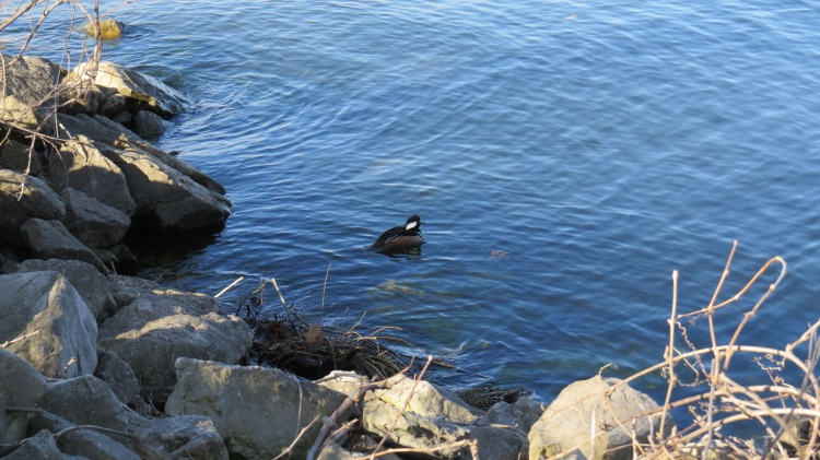 The merganser is guarding the mallard (she is somewhat hidden on right).
