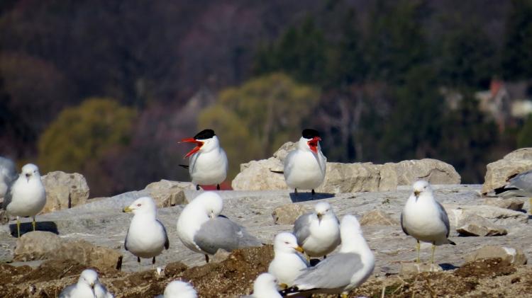 Two Caspian Terns