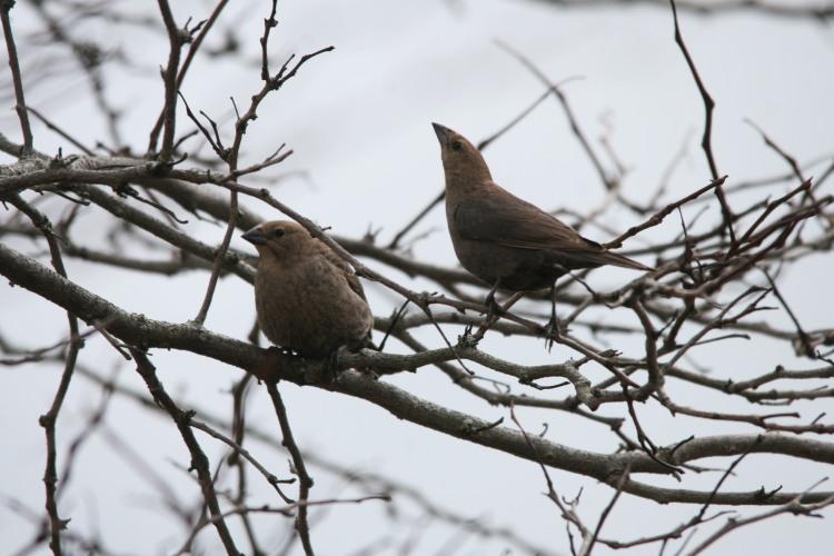 Two female Brown-headed Cowbirds