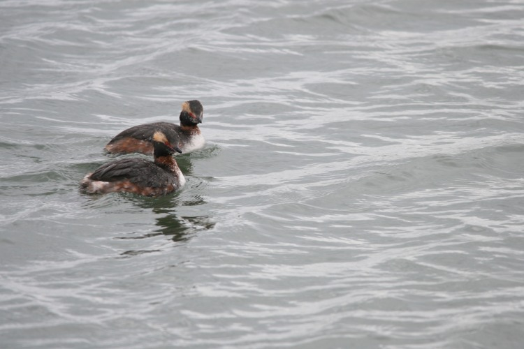Two horned grebes