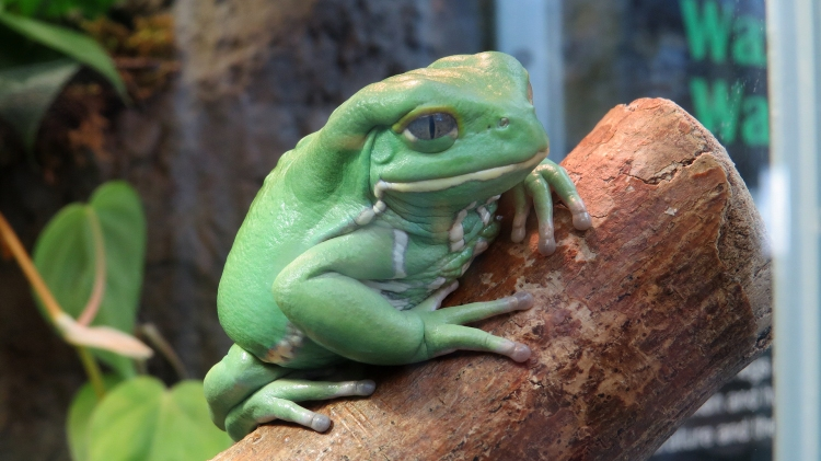 Waxy Monkey Frog at Royal Botanical Gardens in Burlington, ON
