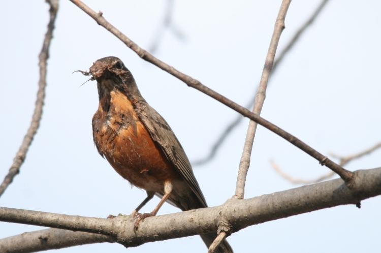American Robin resting mid-nest building