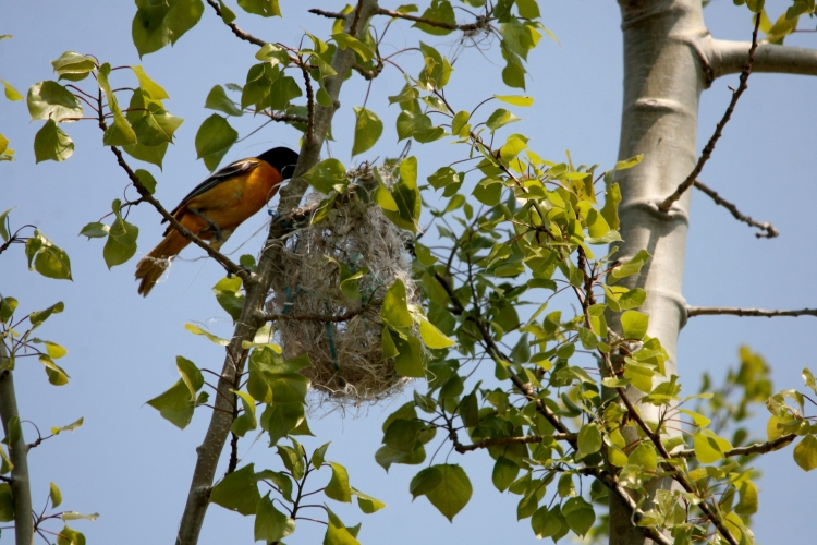 Baltimore Oriole attending to nest