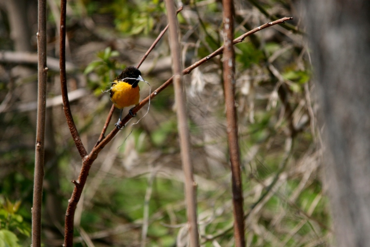 Baltimore Oriole gathering nesting material