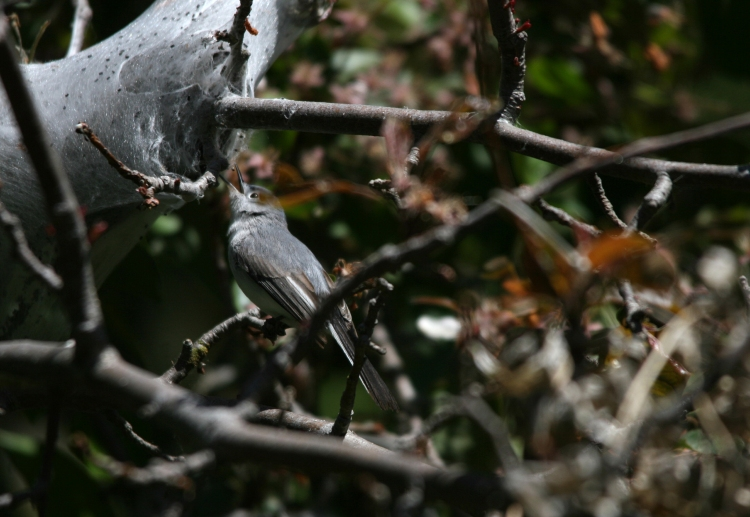 Blue-gray Gnatcatcher about to collect spider silk